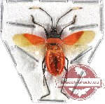 Heteroptera sp. 50 (SPREAD)