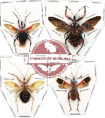 Scientific lot no. 50 (Reduvidae) (4 pcs A-)