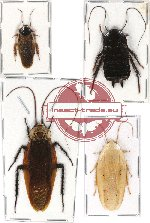 Scientific lot no. 6 Blattodea (4 pcs) (2 pcs A-)