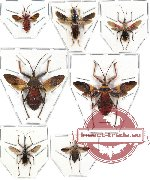 Scientific lot no. 61 Reduvidae (7 pcs) (3 pcs A-)