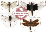 Scientific lot no. 7 Odonata (4 pcs) (1 pc A-)
