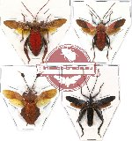Scientific lot no. 56 Coreidae - large species (4 pcs)