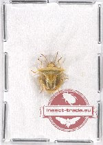 Heteroptera sp. 64 (2 pcs)