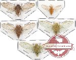 Scientific lot no. 1 Cicadidae (5 pcs - 2pcs A2)