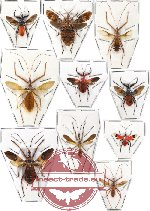 Scientific lot no. 51 Reduvidae (10 pcs - 3 pcs A-, 2 pcs A2)