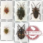Scientific lot no. 57 Pentatomidae (5 pcs - 2 pcs A-)
