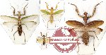 Scientific lot no. 2 Mantidae (4 pcs)( 3pcs A-)