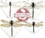 Scientific lot no. 6 Odonata (4 pcs) (1 pcs A-)