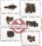 Scientific lot no. 10 Staphylinidae (36 pcs)