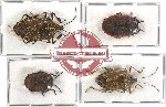 Scientific lot no. 60 Pentatomidae (4 pcs)