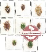 Scientific lot no. 71 Heteroptera Pentatomidae (8 pcs)