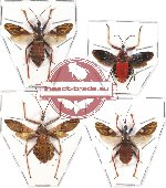 Scientific lot no. 57 Heteroptera Reduvidae (4 pcs A2)