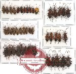 Scientific lot no. 84 Heteroptera (45 pcs A, A-, A2)