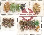 Scientific lot no. 63 Heteroptera Pentatomidae (23 pcs)