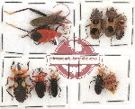 Scientific lot no. 74 Heteroptera (10 pcs - 2 pcs A2) RARE