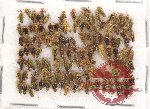Scientific lot no. 77 Heteroptera (105 pcs A, A-, A2)