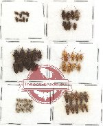 Scientific lot no. 76 Heteroptera (62 pcs A, A-, A2)