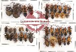 Scientific lot no. 62 Heteroptera (38 pcs)