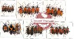 Scientific lot no. 83 Heteroptera (28 pcs A, A-, A2)