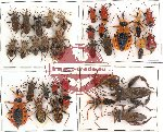 Scientific lot no. 66 Heteroptera (33 pcs)