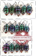 Scientific lot no. 80 Heteroptera Scutellarinae (15 pcs A, A-, A2)