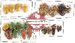 Scientific lot no. 68 Heteroptera mostly Pentatomidae (21 pcs - some A2)