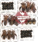 Scientific lot no. 72 Heteroptera (42 pcs)