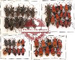 Scientific lot no. 65 Heteroptera (48 pcs)
