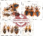 Scientific lot no. 64 Heteroptera Reduvidae (13 pcs)
