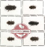 Scientific lot no. 7 Ostomidae (6 pcs)