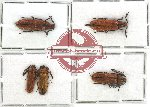 Scientific lot no. 4 Callirhipidae (5 pcs)