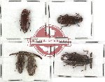 Scientific lot no. 3 Callirhipidae (5 pcs - 1 pc A2)