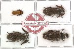 Scientific lot no. 1 Callirhipidae (4 pcs - 2 pcs A2)