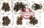 Dytiscidae Scientific lot no. 10 (22 pcs)