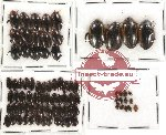 Dytiscidae Scientific lot no. 5 (82 pcs)