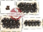 Dytiscidae Scientific lot no. 7 (30 pcs)
