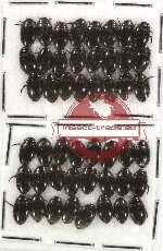 Dytiscidae Scientific lot no. 9 (48 pcs)
