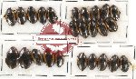 Dytiscidae Scientific lot no. 8 (25 pcs)