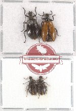 Scientific lot no. 9 Lagriidae (4 pcs - 2 pcs A2)