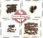 Scientific lot no. 17 Dytiscidae (180 pcs)