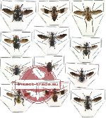 Scientific lot no. 18 Diptera (12 pcs)