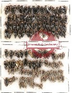 Scientific lot no. 95 Heteroptera (142 pcs)