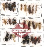 Scientific lot no. 98 Heteroptera (Reduvidae) (32 pcs)