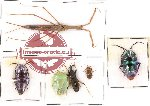 Scientific lot no. 116 Heteroptera (6 pcs)