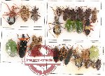 Scientific lot no. 111 Heteroptera (30 pcs)