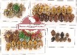 Scientific lot no. 88 Heteroptera (Pentatomidae) (43 pcs)
