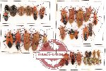 Scientific lot no. 90 Heteroptera (34 pcs - 10 pcs A2)