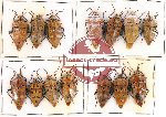 Scientific lot no. 97 Heteroptera (14 pcs A, A-, A2)