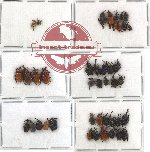 Scientific lot no. 13 Attelabidae (42 pcs) RARE