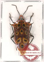 Heteroptera sp. 67 (2 pcs)